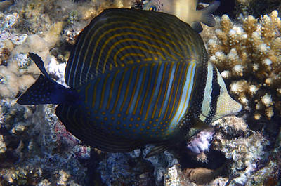 Designs Similar to Sailfin Tang