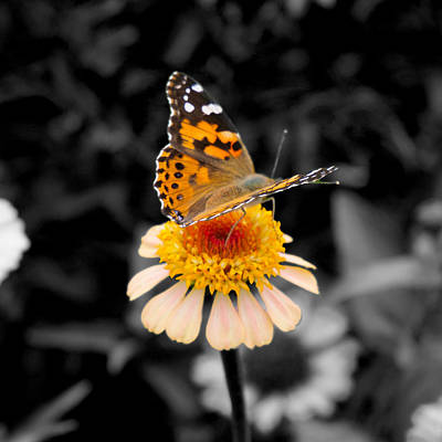 Photograph - Butterfly meets flower by Mark Smith