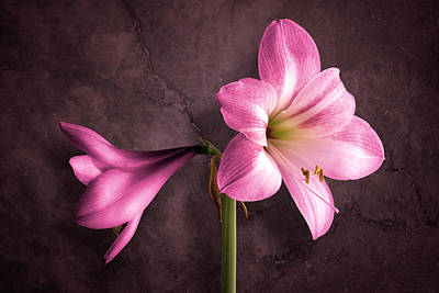 Amaryllis Photographs