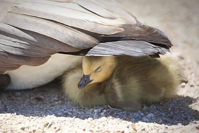 Baby Geese Art Prints
