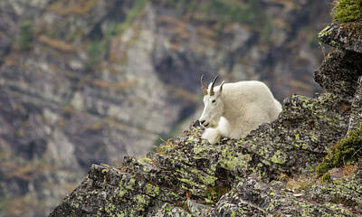 Photograph - Grinnell Mountain Goat by Jeff Pfaller