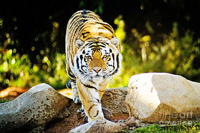 The Tiger Hunt Photographs