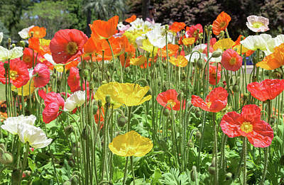 Designs Similar to Iceland Poppies