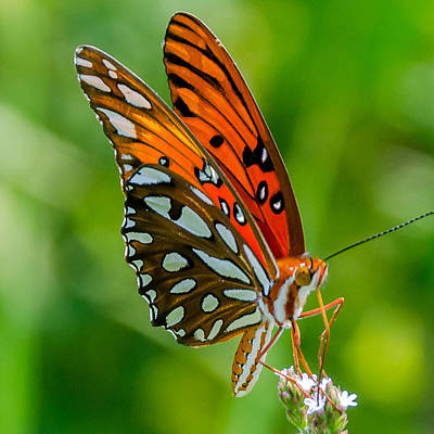 Designs Similar to Gulf Fritillary