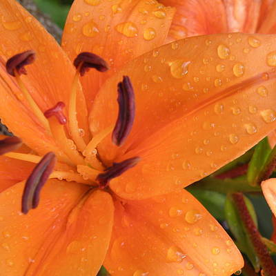 Designs Similar to Dew On The Lilies