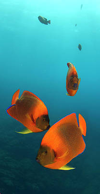 Designs Similar to Clarion Angelfish