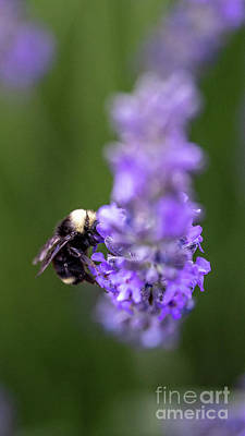 Photograph - Bumble Bee by Kasra Rassouli