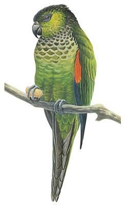 Parrot Drawings