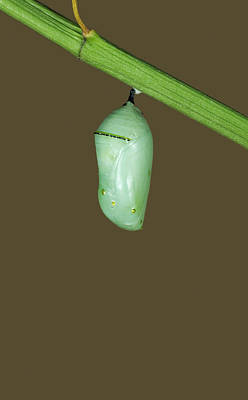 Designs Similar to Monarch Butterfly Chrysalis