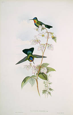 Designs Similar to Fiery-throated Hummingbirds