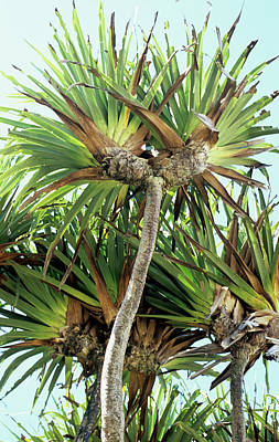 Designs Similar to Pandanus Palm