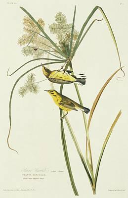 Prairie Warbler Photographs