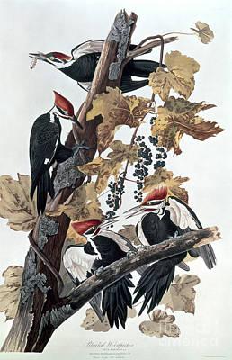 Pileated Woodpecker Art Prints