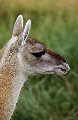 Designs Similar to Guanaco (lama Guanicoe