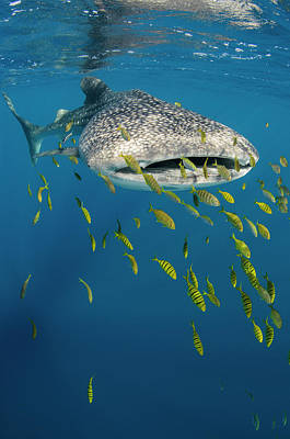 Designs Similar to Whale Shark And Golden Trevally