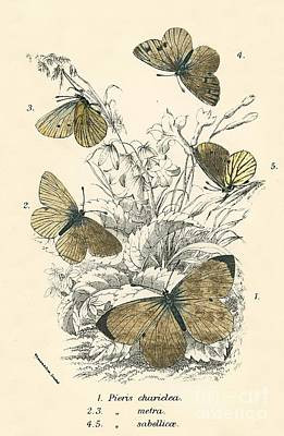 Designs Similar to Butterflies by English School