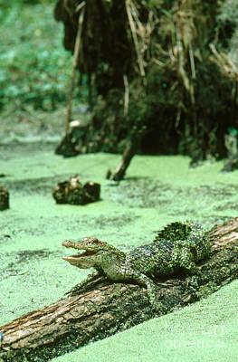 Alligator Photographs