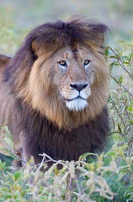 Designs Similar to Close-up Of A Black Maned Lion