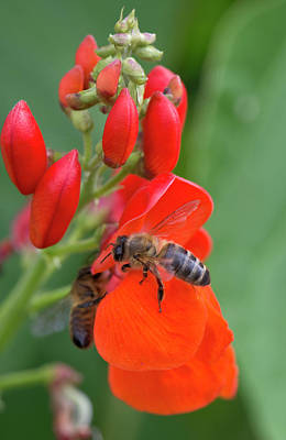 Designs Similar to Honey Bee by Nigel Cattlin