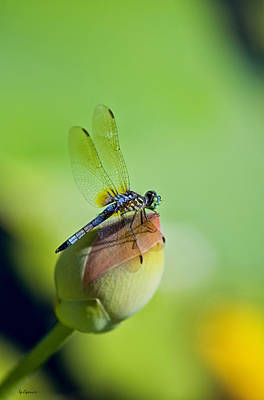 Dragon Fly On A Lily Photographs