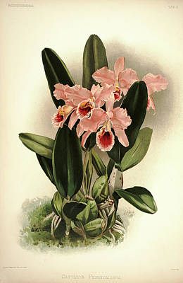 Designs Similar to Orchid, Cattleya Percivaliana