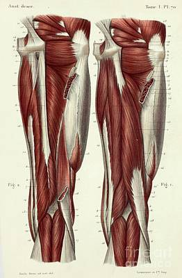 Designs Similar to Rear Thigh Muscles