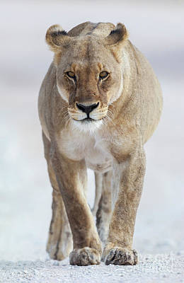 Designs Similar to African Lioness by Bart Breet