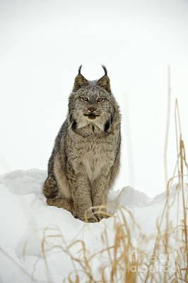 Canadian Lynx Photographs