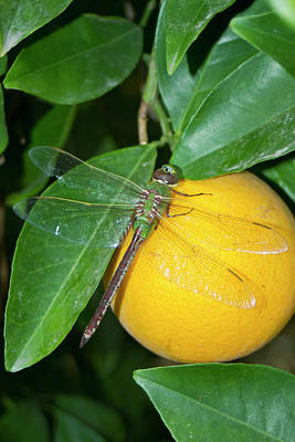 Green Darner Dragonflies Photographs