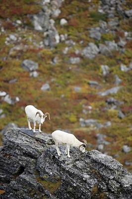 Designs Similar to Dall Sheep by Paul E Tessier