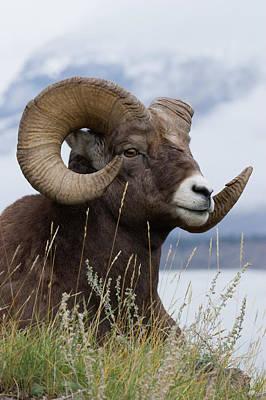 Designs Similar to Bighorn Sheep Ram by Ken Archer