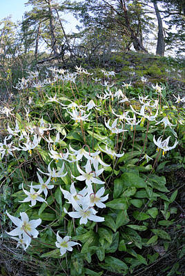 Fawn Lily Art