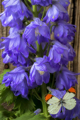 Delphinium Photographs