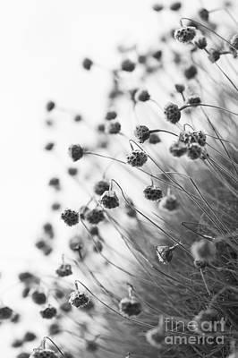 Plumbaginaceae Photographs
