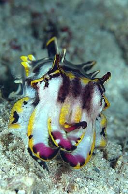 Designs Similar to Flamboyant Cuttlefish