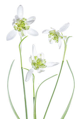 Designs Similar to Galanthus Flore Pleno