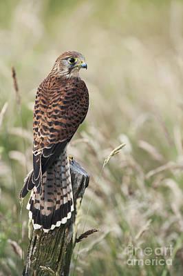 Falcon Photographs