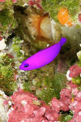Designs Similar to Magenta Dottyback Pseudochromis