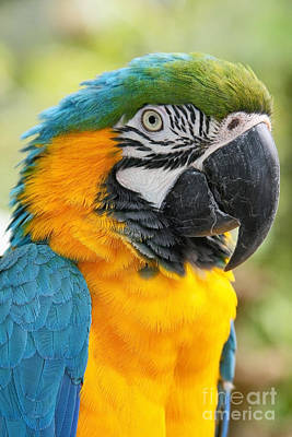 Mele E Manono Ia Ea Macaw Prints