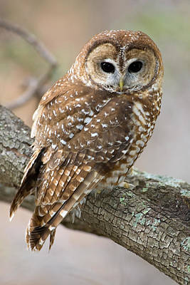 Designs Similar to Mexican Spotted Owl