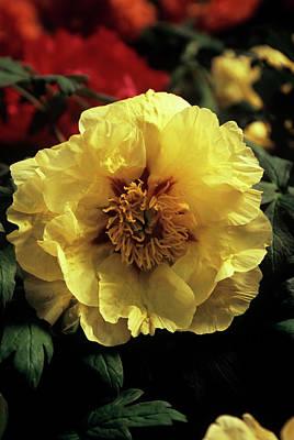 Designs Similar to Peony (paeonia 'golden Isle')