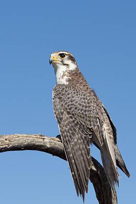 Falco Mexicanus Prints