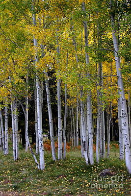 Designs Similar to Serendipitous Aspen Trees