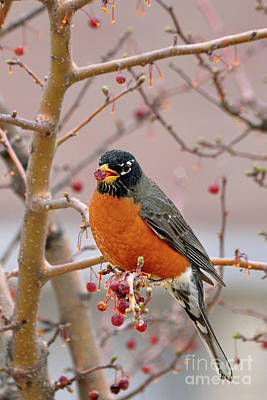 Red-breasted Robin Photographs
