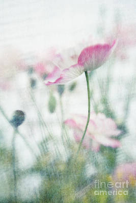 Pink Poppy Blossom Macro Posters