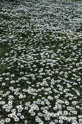 Lots Of Daisies Prints