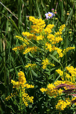 Sweet Goldenrod Photographs