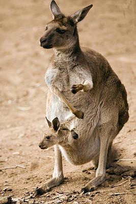 Kangaroo Photographs Original Artwork
