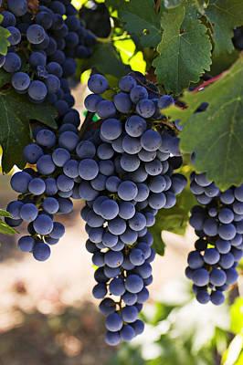 Designs Similar to Sauvignon Grapes by Garry Gay