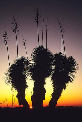 Yucca Elata Art Prints